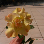 1416 DOUBLE YELLOW FRILLER (1)