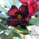 1490 DOUBLE BLACK PAGODA