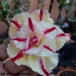 1545 TRIPLE YELLOW PIXIE (1)