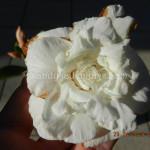 1652 WHITE GEM 35 40 PETALS (2)