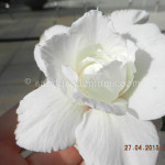 1652 WHITE GEM 35 40 PETALS (4)