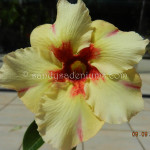 1760 YELLOW HIBISCUS (3)-11