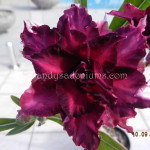 1818 QUAD PURPLE ANGELIQUE (4)
