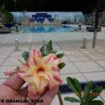 5148 TRIPLE ORANGAH STAR (1)-2