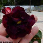5216 DOUBLE ZRINKA