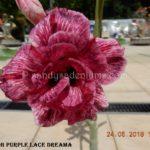 5657 DOUBLE PURPLE LACE DREAMA (1)-2