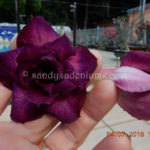 5685 TRIPLE QUAD PURPLE ELKE (1)-2