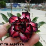 2287 TRIPLE JASETTA $65 SOLD OUT