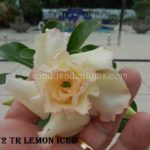 1372 TRIPLE LEMON ICED 3 TO 4 YR OLD MOTHER PLANT $65