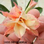 1635 DOUBLE ORANGA $45
