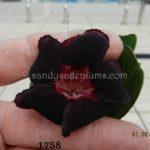 1758 BLACK PURPLE GRAPE $50