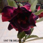 197 TRIPLE PURPLE DELISCIO $60