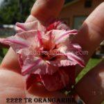2222 TR ORANGARINE $60 ( FLOWERINGS OF 2 DIFFERENT DAYS
