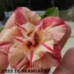 2222 TRIPLE ORANGARINE $60