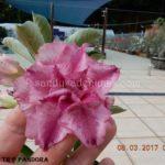 2736 TRIPLE PURPLE PANDORA $60