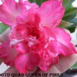 907D QUAD QUEEN OF PINKS $60