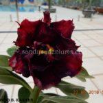 5494 DOUBLE BLACK KARAHN $60