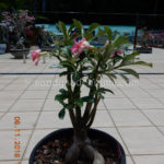 1155 TRIPLE PRANCE 6 YR OLD BONSAI AND TRIMMED $150
